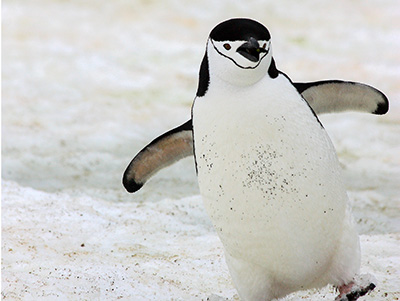 A happy chinstrap penguin in Antarctica.