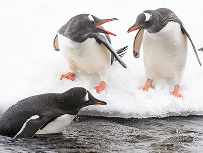 Gentoo penguins (Pygoscelis papua) on the ice hill
