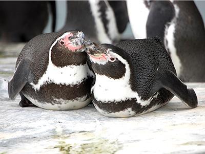 Peruvian Penguins cuddling