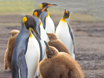 King Penguin (Aptenodytes patagonicus) feeding chick. Falkland Islands.